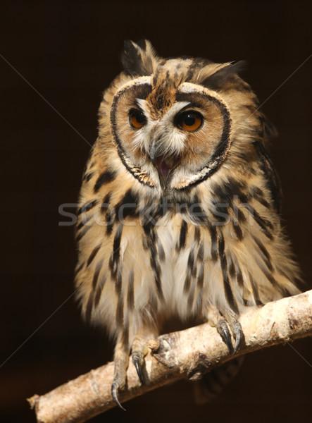 Mexican rayé chouette portrait nature oiseau Photo stock © scooperdigital