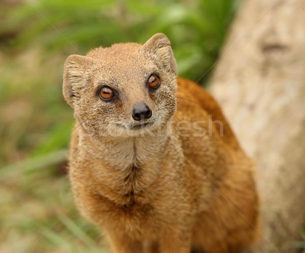 Amarelo retrato deserto vermelho África pele Foto stock © scooperdigital