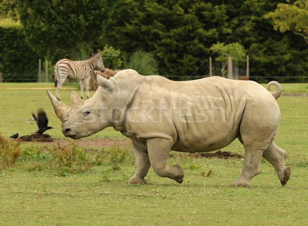 White Rhino Stock photo © scooperdigital