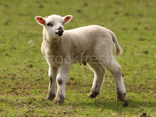 Spring Lamb Stock photo © scooperdigital