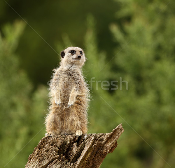 Meercat Stock photo © scooperdigital