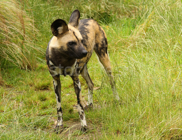 African wild dog Stock photo © scooperdigital