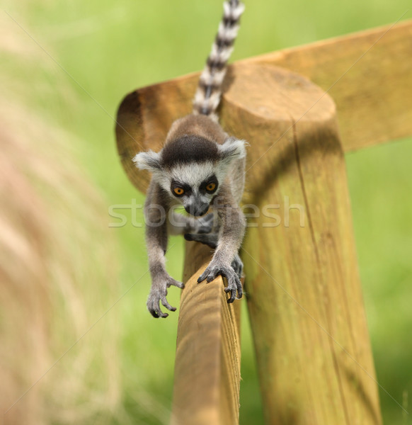 Baby Ring-Tailed Lemur Stock photo © scooperdigital