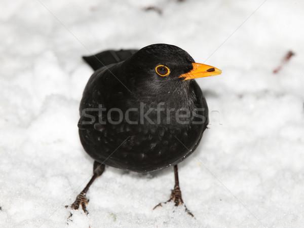 Melro neve masculino comida Foto stock © scooperdigital