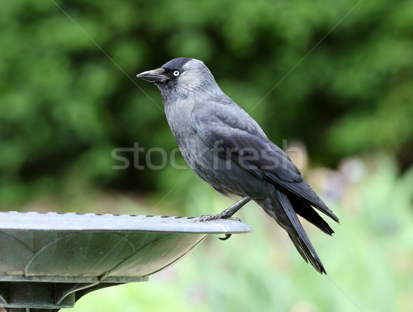 Plumes noir aile une Photo stock © scooperdigital