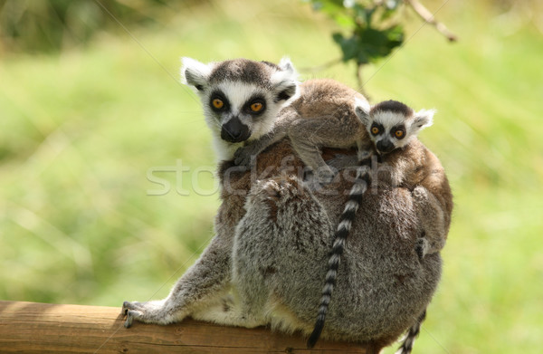 Ring-Tailed Lemur Stock photo © scooperdigital