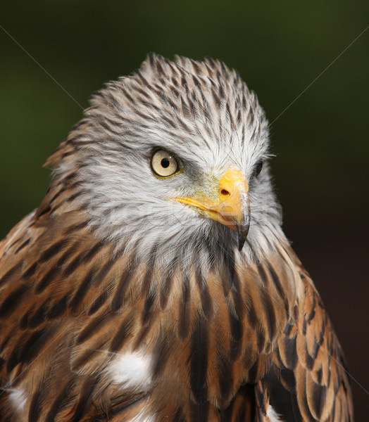 Red Kite Stock photo © scooperdigital