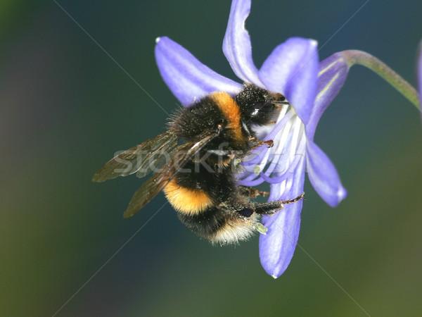 Bumble Bee Stock photo © scooperdigital