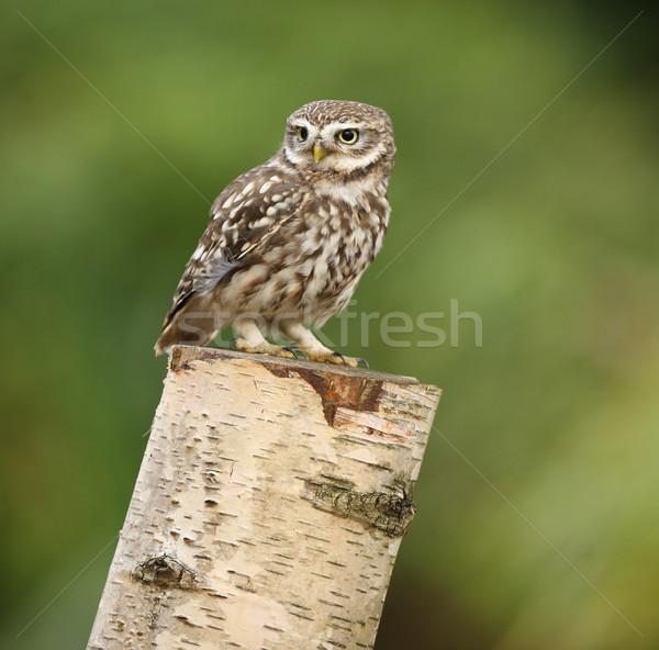 Peu chouette portrait arbre yeux oiseau Photo stock © scooperdigital