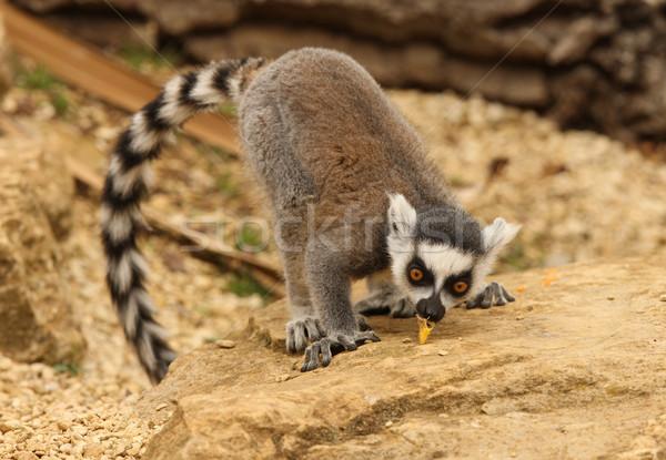 Ring Tailed Lemur  Stock photo © scooperdigital