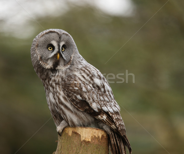 Great Grey Owl Stock photo © scooperdigital