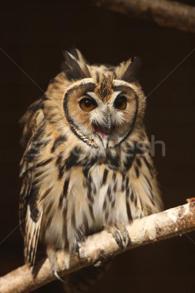 Mexicano listrado coruja retrato natureza pássaro Foto stock © scooperdigital