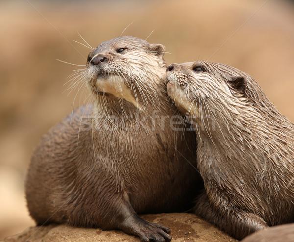 Oriental Short-Clawed Otters  Stock photo © scooperdigital