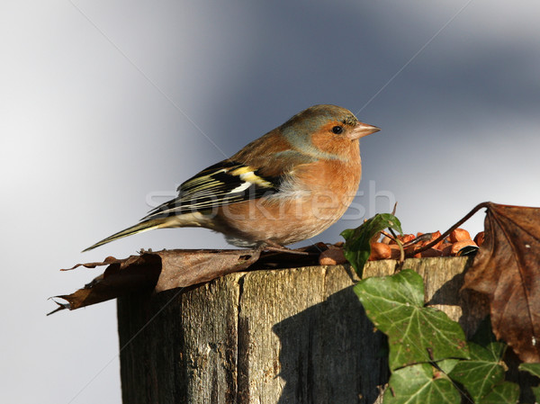Chaffinch Stock photo © scooperdigital