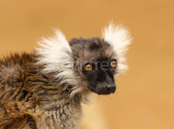 Black and White Ruffed Lemur Stock photo © scooperdigital