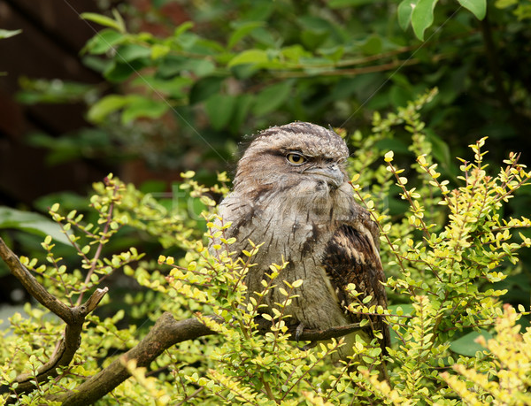 Tawny Frogmouth Owl Stock photo © scooperdigital