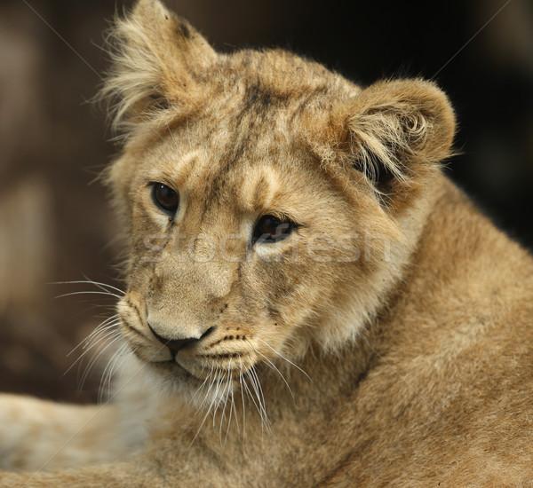Asian leeuw welp portret afrika afrikaanse Stockfoto © scooperdigital