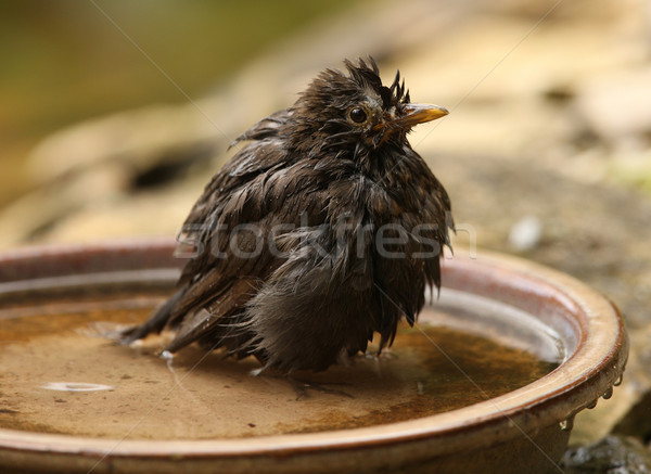 Bathing Blackbird Stock photo © scooperdigital