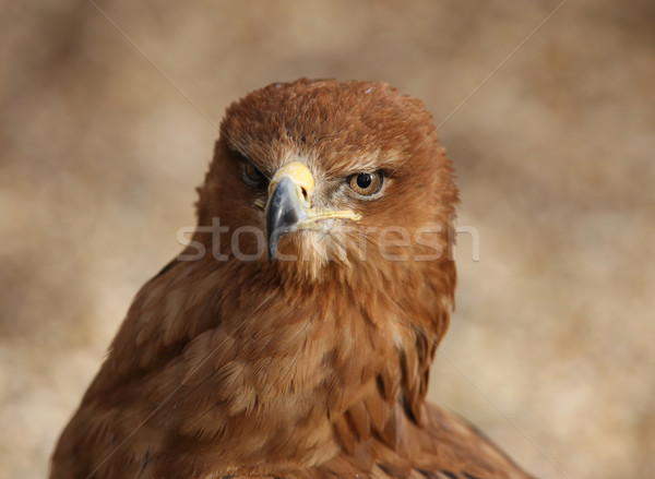 Tawny Eagle Stock photo © scooperdigital