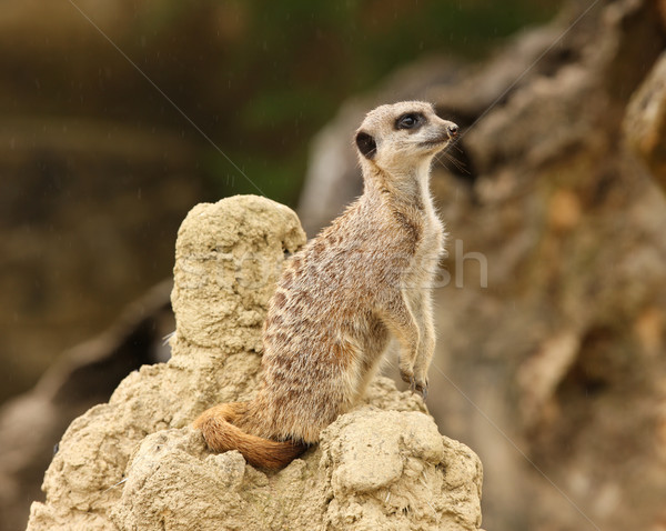 Meerkat Stock photo © scooperdigital