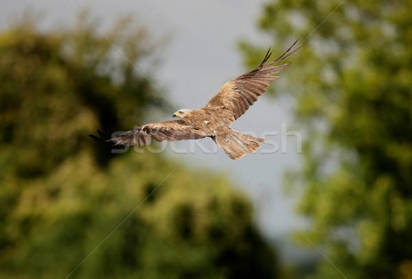 Black Kite Stock photo © scooperdigital