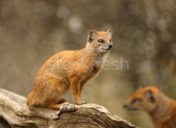 Yellow Mongoose Stock photo © scooperdigital