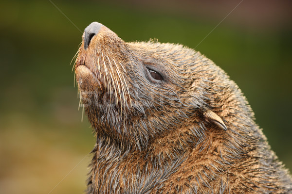 Fur Seal Stock photo © scooperdigital