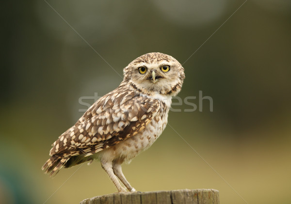 Chouette yeux oiseau portrait animaux Photo stock © scooperdigital
