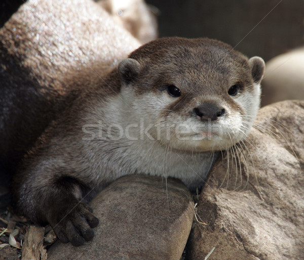 Otter Stock photo © scooperdigital