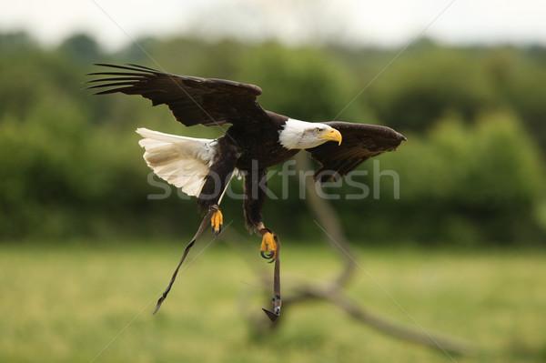 Careca Águia vôo pássaro pena retrato Foto stock © scooperdigital