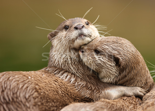 Oriental Short-Clawed Otters  Stock photo © scooperdigital
