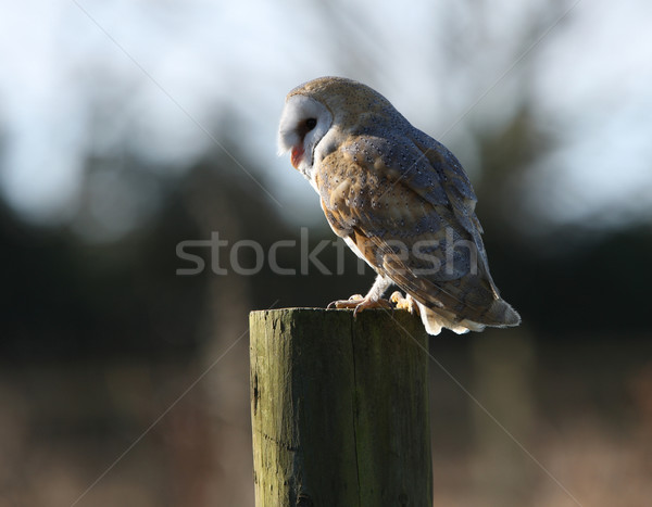 Grange chouette arbre yeux oiseau tête Photo stock © scooperdigital