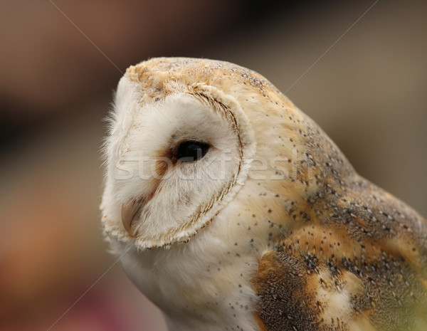 Barn Owl Stock photo © scooperdigital