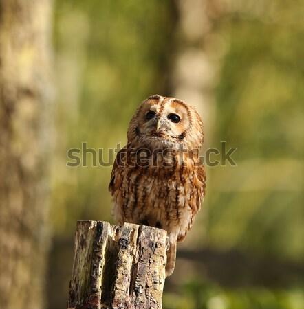 Tawny Owl Stock photo © scooperdigital