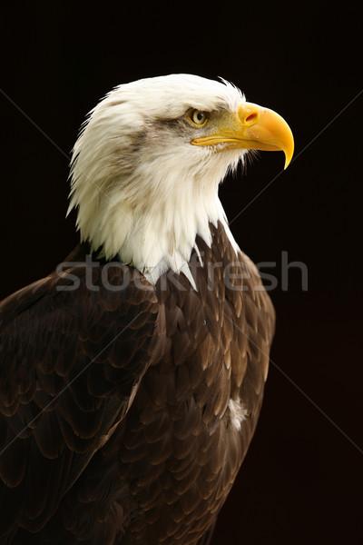 Stock photo: Bald Eagle