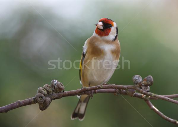 Portre bahçe arka plan kuş altın erkek Stok fotoğraf © scooperdigital