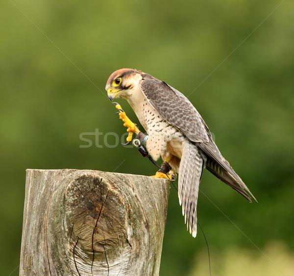 Falcão retrato olho pássaro pena África Foto stock © scooperdigital