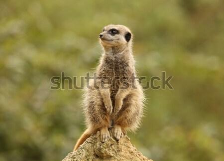 Retrato natureza rocha animal africano em pé Foto stock © scooperdigital