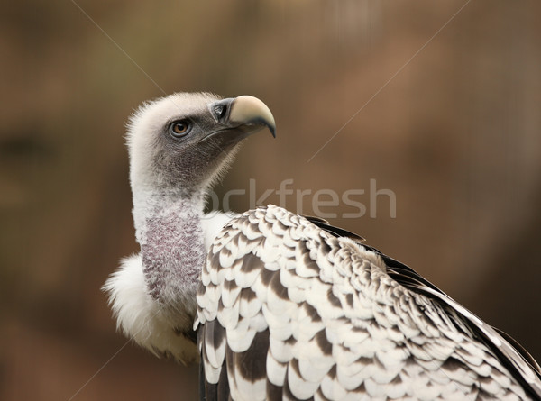 Griffon Vulture Stock photo © scooperdigital