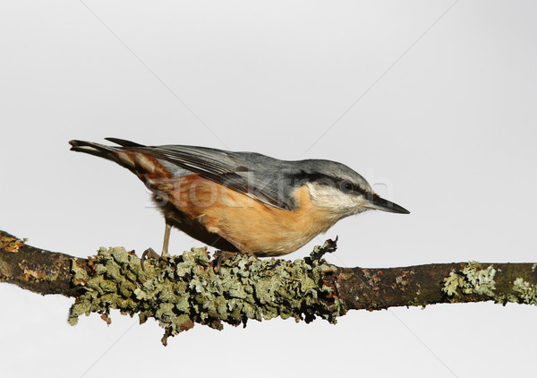 Nuthatch sitta europaea Stock photo © scooperdigital