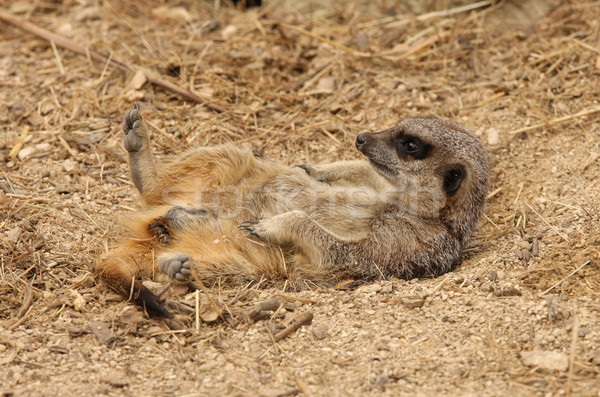 Meerkat Stock photo © scooperdigital