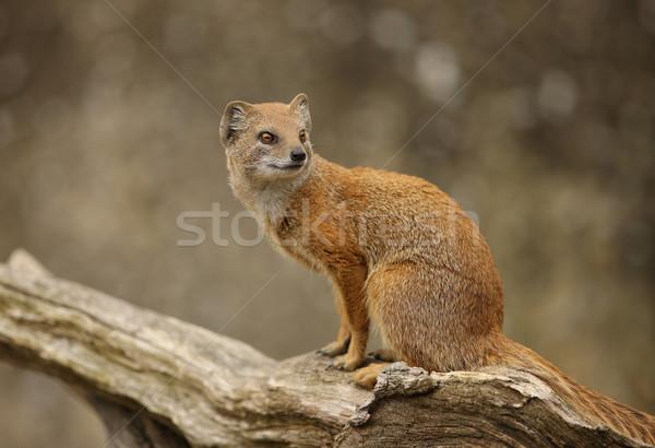 Sarı portre yüz saç Afrika hayvan Stok fotoğraf © scooperdigital