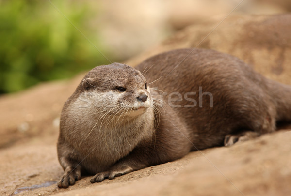 Oriental Short-Clawed Otter Stock photo © scooperdigital