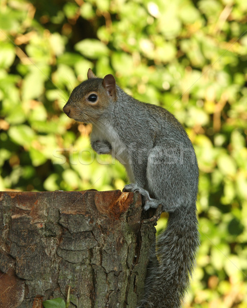 Grey Squirrel in Autumn Stock photo © scooperdigital