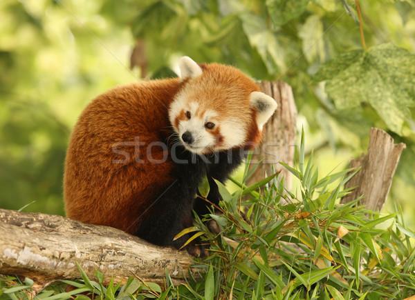 Red Panda Stock photo © scooperdigital