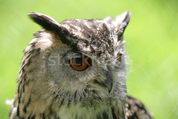 Eagle owl portrait oeil nature oiseau volée Photo stock © scooperdigital