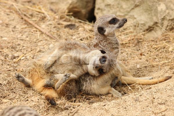 Jeunes garde fourrures cute Afrique du Sud brun Photo stock © scooperdigital