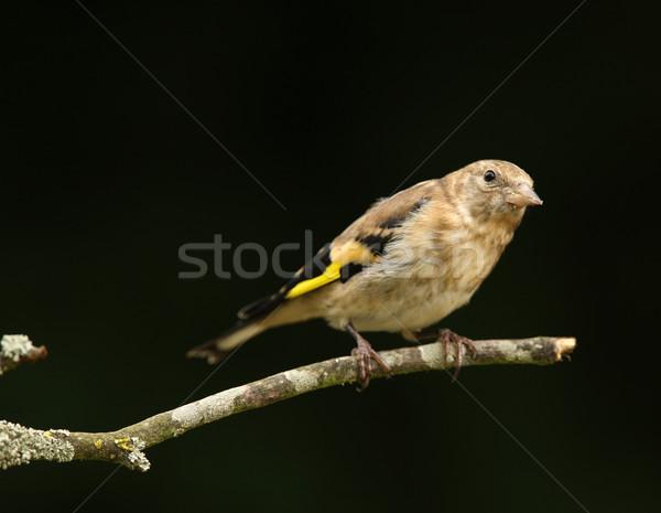 Young Goldfinch Stock photo © scooperdigital