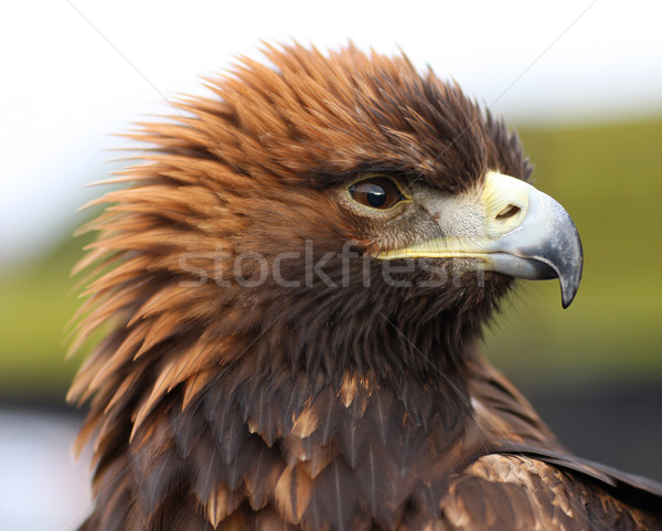 Golden Eagle Stock photo © scooperdigital