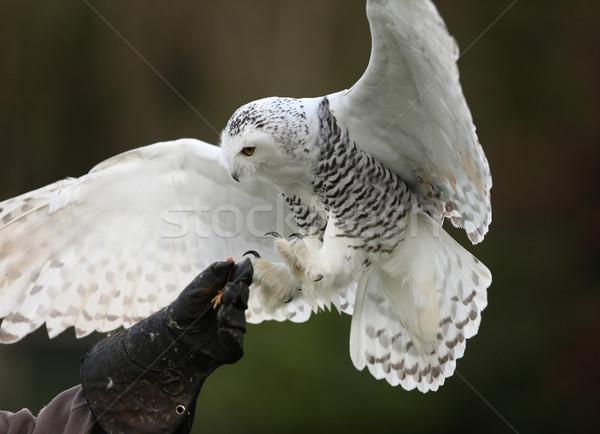 Coruja vôo natureza pena branco Foto stock © scooperdigital